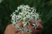 ニラの花は白くて可憐